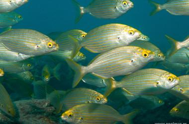 Conheça a Sarpa Salpa – O peixe alucinógeno com efeitos semelhantes ao LSD.